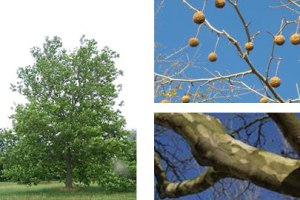 american_sycamore_tree