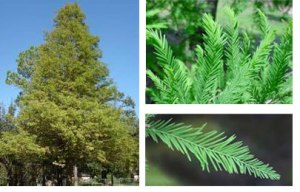 bald_cypress_tree