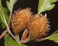 beech-nuts