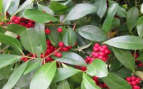 dahoon-holly-tree-for-sale-3