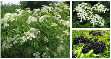 elderberry bush