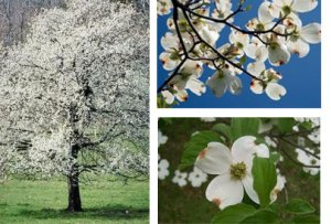 flowering_dogwood_tree