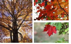 red_maple_tree