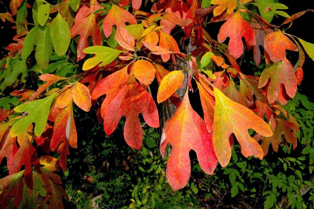 Fall colors of Sassafras tree
