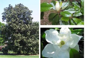 southern_magnolia_tree