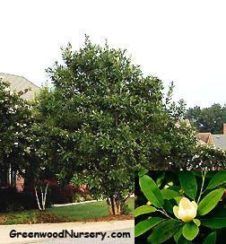 sweetbay-magnolia