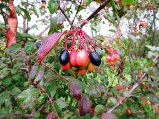 viburnum-rufidulum-fruits-farm-10-15-14-bill-dunson-img_3397-aa