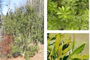 wax_myrtle_tree