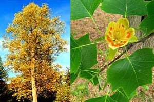 Yellow_Poplar